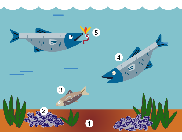 Illustration of how contaminants, like trace metals, move up the food chain